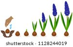 cycle of growth of a muscari... | Shutterstock .eps vector #1128244019