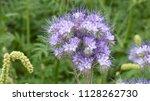 phacelia tanacetifolia is a...   Shutterstock . vector #1128262730