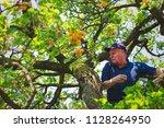 senior gardener is harvesting... | Shutterstock . vector #1128264950