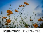 beautiful yellow cosmos flower  ... | Shutterstock . vector #1128282740