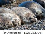 The Elephant Seals Sleeping On...