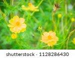 beautiful yellow cosmos flower  ... | Shutterstock . vector #1128286430