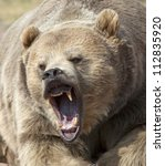 Close Up Head Shot Of Grizzly...