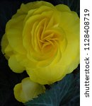 Yellow Begonia Flower And Bud