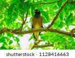 Myna Bird On The Branch In A...
