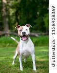 a tan and white pit bull...   Shutterstock . vector #1128428369