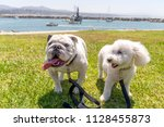 english bull dog and poodle... | Shutterstock . vector #1128455873