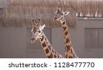 couple of giraffes  close up | Shutterstock . vector #1128477770