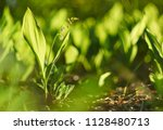 Lily Of The Valley Forest...