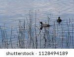 Coots at the Cosumnes river Preserve