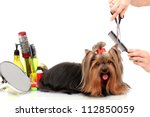 Stock photo grooming the yorkshire terrier isolated on white 112850059