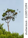 swallow tailed kites flock in... | Shutterstock . vector #1128571094