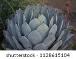 agave azul blue agave plant   Shutterstock . vector #1128615104