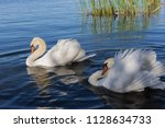 swan art. two white swans with... | Shutterstock . vector #1128634733