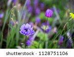purple anemone flowers field. | Shutterstock . vector #1128751106
