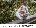 Monkey Eating A Coconut At...