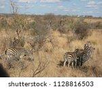 kruger national park  south... | Shutterstock . vector #1128816503