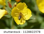 bee collecting nectar on the... | Shutterstock . vector #1128822578