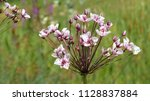 butomus umbellatus is the old... | Shutterstock . vector #1128837884