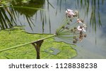 butomus umbellatus is the old... | Shutterstock . vector #1128838238