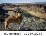 Texas Heeler Looks Into Canyon