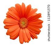 Isolated Orange Gerbera Daisy