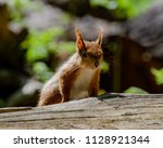 Red Squirrel On Log With Good...
