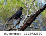 black currawong   strepera... | Shutterstock . vector #1128932930