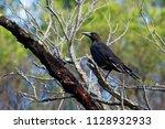 black currawong   strepera... | Shutterstock . vector #1128932933