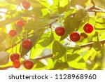 cherry tree  prunus cerasus   ... | Shutterstock . vector #1128968960