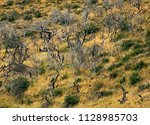 dead trees after big fire.... | Shutterstock . vector #1128985703