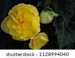Yellow Begonia Flower And Buds
