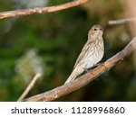 female house finch   photograph ... | Shutterstock . vector #1128996860