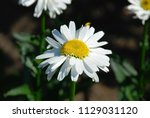 beautiful fresh camomile flower ... | Shutterstock . vector #1129031120