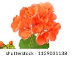 geranium flower  isolated on... | Shutterstock . vector #1129031138
