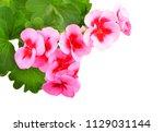 balmy geranium flower  isolated ... | Shutterstock . vector #1129031144