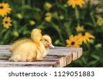 cute ducklings on an old rustic ... | Shutterstock . vector #1129051883