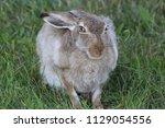 rabbit doing the side pose  | Shutterstock . vector #1129054556
