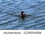 Posing Duck In The Water