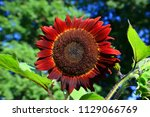 red sun splash sunflower | Shutterstock . vector #1129066769