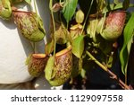beautiful pitcher carnivorous...   Shutterstock . vector #1129097558