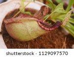 beautiful pitcher carnivorous...   Shutterstock . vector #1129097570