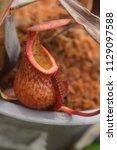 beautiful pitcher carnivorous...   Shutterstock . vector #1129097588