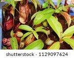 beautiful pitcher carnivorous...   Shutterstock . vector #1129097624