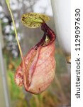 beautiful pitcher carnivorous...   Shutterstock . vector #1129097630