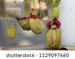 beautiful pitcher carnivorous...   Shutterstock . vector #1129097660