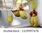 beautiful pitcher carnivorous...   Shutterstock . vector #1129097678