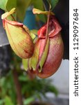 beautiful pitcher carnivorous...   Shutterstock . vector #1129097684
