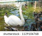 white geese swimming in the... | Shutterstock . vector #1129106768