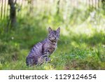 beautiful grey cat hunting in... | Shutterstock . vector #1129124654
